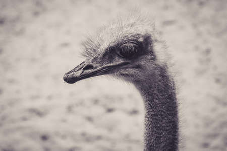 Portrait of a Haughty Ostrich