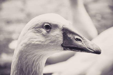 Portrait of a Quiet Goose Stock Photo