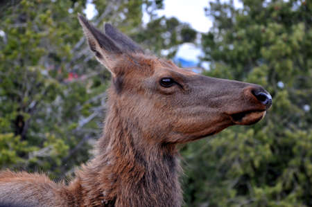 Portrait of a Deer Frightened at the Grand Canyon