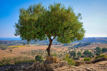 Mooie olijfboom op de heuvels van Agrigento Stockfoto