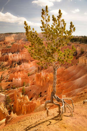 Single Quirky Tree in Bryce Canyon Park