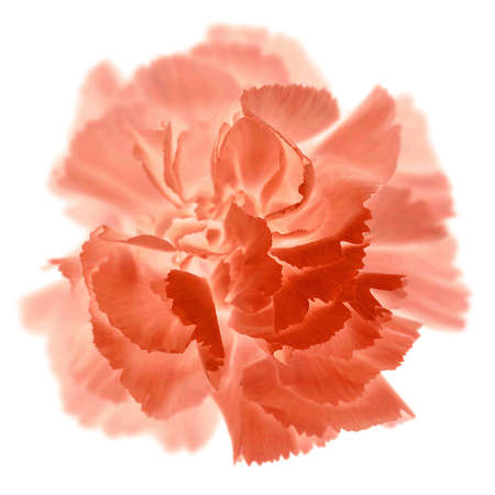 the carnation: Isolated carnation in pink and red