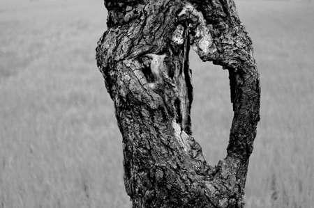 ruggedness: Parte di un tronco di un vecchio albero in bianco e nero