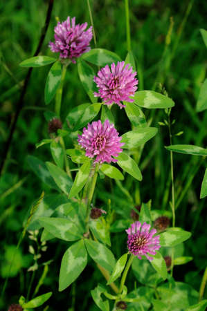 Red clover plants in sunshine photo