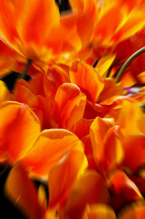 gorgeousness: A group of orange tulips Stock Photo