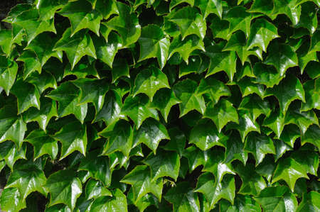 photosynthetic: A wall of green ivy