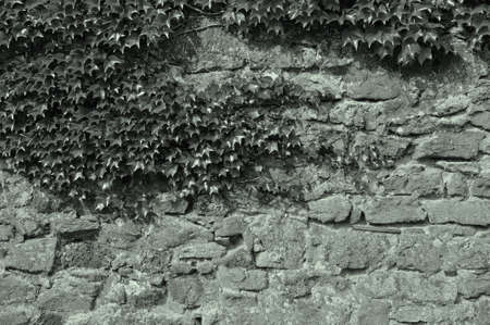 photosynthetic: Green plants climbing at an old stone wall