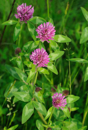 Red clover plants in sunshine