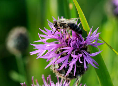 Thorny thistle flower with bee photo