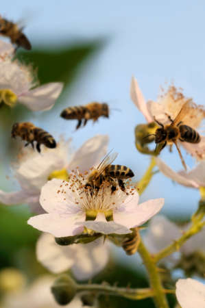 bees: Bees and blackberry - Blooming blackberry with bees under a blue sky