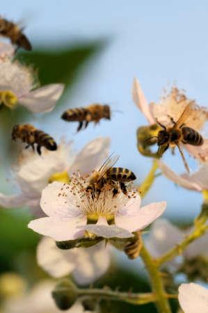 wild flowers: Bijen en blackberry - bloeiende blackberry met bijen onder een blauwe lucht