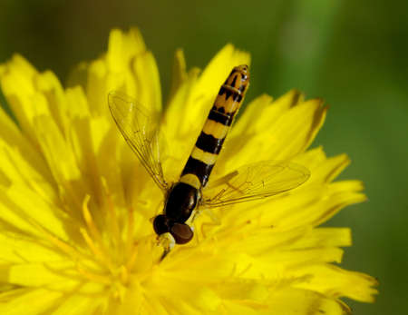 deterrence: Hoverfly - Single hoverfly on a yellow flower