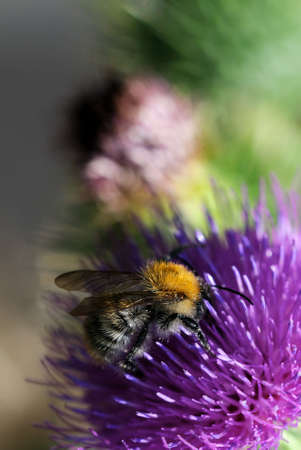 Bee and thistle Thorny thistle flower with bee photo