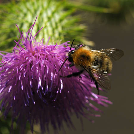Bee and thistle - Thorny thistle flower with bee photo