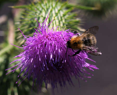 thorny: Bee and thistle -Thorny thistle flower with bee