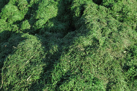 cut grass: Grass clippings - A stack of grass clippings in sunshine