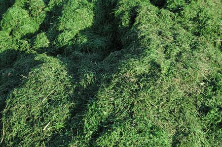 clippings: Recortes de pasto - una pila de recortes de la hierba en sol Foto de archivo