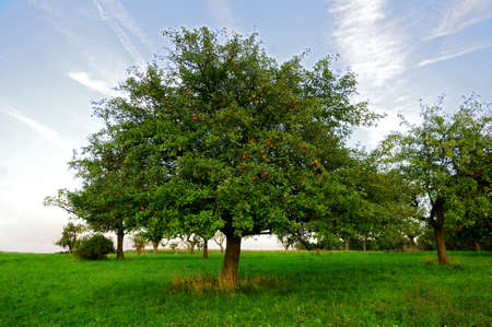 Apple trees A number of apple trees with ripening apples Stok Fotoğraf
