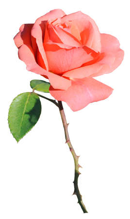 Rose  Single rose flower in pink on white background