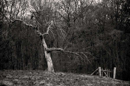ruggedness: Old fruit tree Old fruit tree with a whole in front of little woods Stock Photo