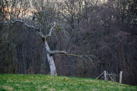 ruggedness: Old frutta Vecchio albero albero da frutto di un insieme di fronte a boschetti Archivio Fotografico