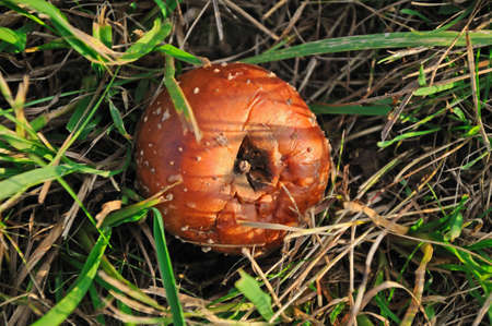 fallen fruit: Windfalls Fallen apple in the state of decay lying on the ground Stock Photo