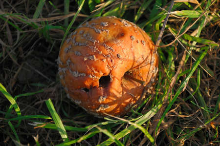 Windfalls Fallen apple in the state of decay lying on the ground photo