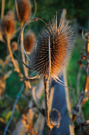 bristly: Dry thistles Dry  thistle flowers on a field
