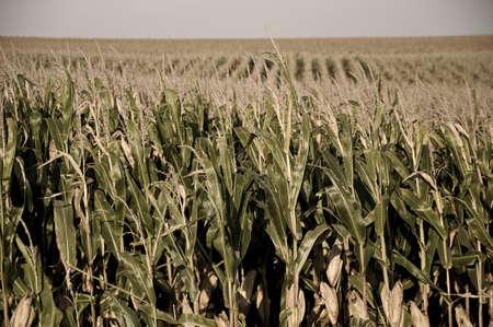 duplex: Maize field A maize field in autumn -duplex- Stock Photo