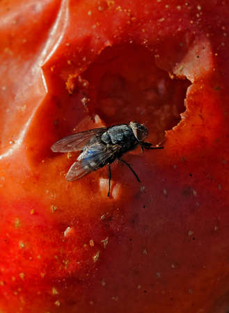 windfalls: Windfalls and fly Apple in the state of decay with a hole and a fly Stock Photo