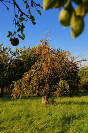 Apple trees Apple trees with ripening apples photo
