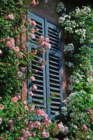 rambler: Climbing roses Many rose flowers in pink and white climbing on a wall of a house