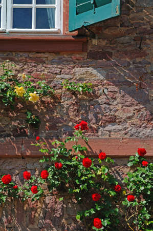Climbing roses Many rose flowers in red and yellow climbing on a wall of a house photo