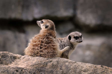 eye socket: Meerkats A photo of two sweet meerkats in a German zoo