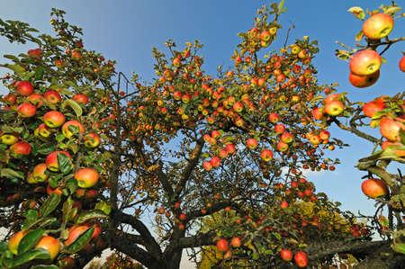 Appels Een deel van een appelboom met veel rijpen appels