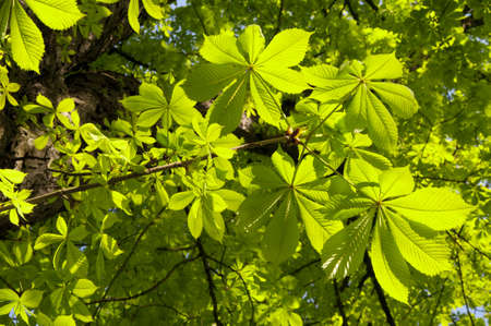 dioecious: chestnut tree leafes Stock Photo