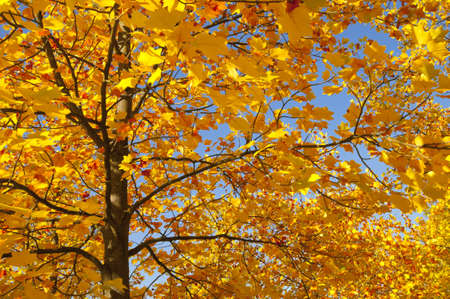 carotenoid: autumn tree with colored leaves Stock Photo
