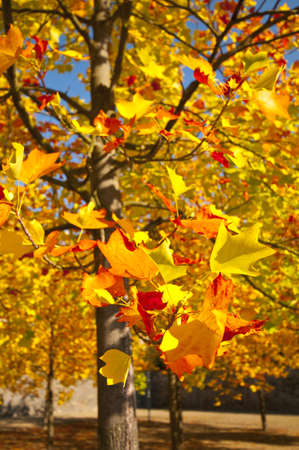 carotenoid: Autumn trees with colored leaves