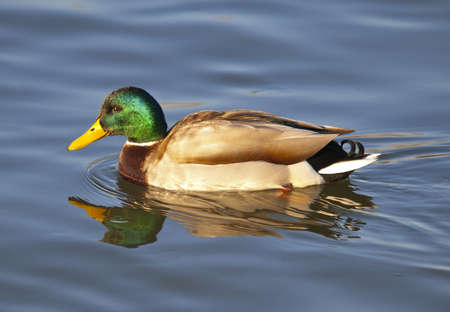 geen: Duck Drake mallard on lake