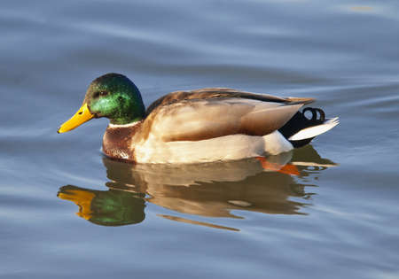 pato real: Pato de Drake del pato silvestre en el lago