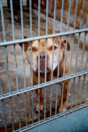 patronage: pit bull dog in a dungeon at Animal Shelter
