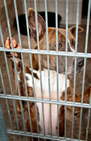 dungeon: pit bull dog in a dungeon at Animal Shelter