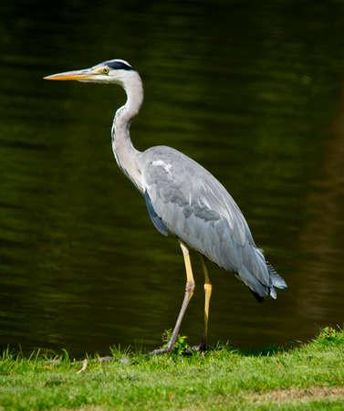 gray herons: Grey heron hunting at Riverside