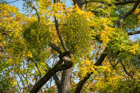 esotericism: Mistletoes on tree with yellow leaves in autumn Stock Photo