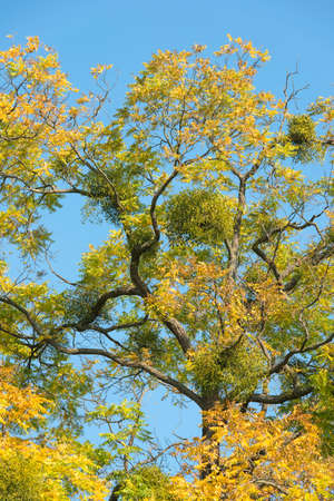 esoterism: Mistletoes on tree with yellow leaves in autumn Stock Photo