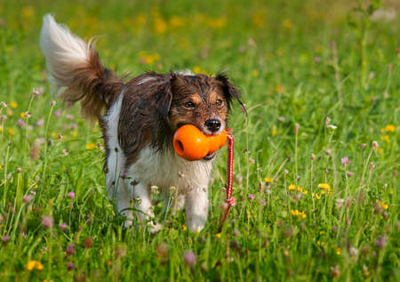 retrieve: Dog playing with an orange ball in a blooming meadow