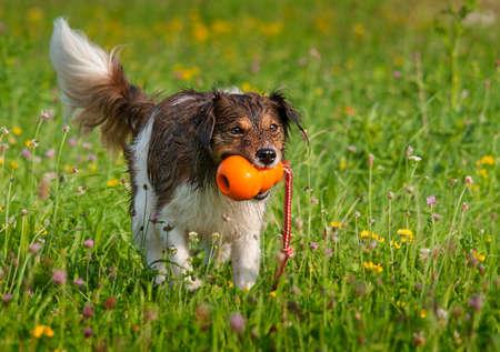 puta: Perro que juega con una bola naranja en un prado en flor