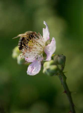 mellifera: bee nectar licking on blackbeery blossom in Summertime