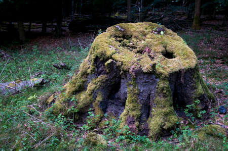 decaying: Old stump decaying Stock Photo