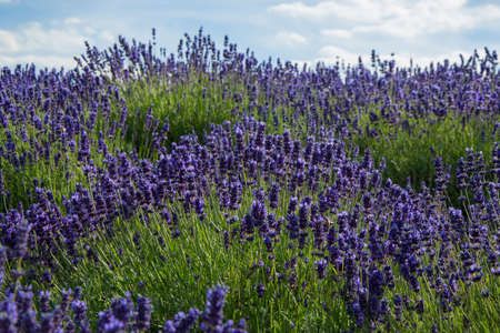 officinalis: Lavender true in a field